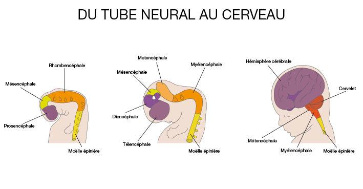 du tube neural au cerveau